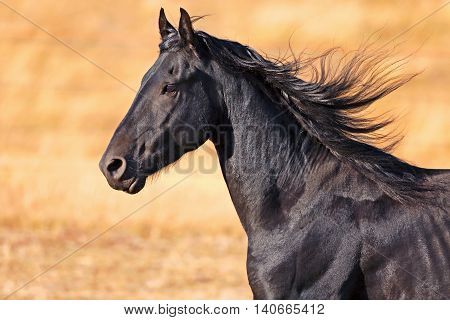 Headshot of Black Friesian Stallion cantering late afternoon sunlight