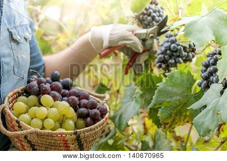 winegrower picking grapes in vineyard with a basket of grapes in hand
