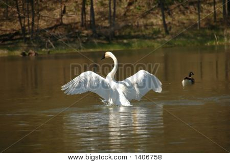 White Swan Ready To Take Off