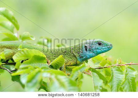 green lizard outdoor