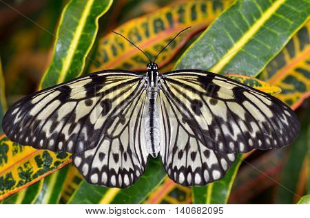 exotic butterfly in natural habitat (idea leuconoe chersonesia)