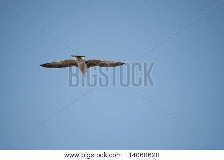 Gull Nosediving