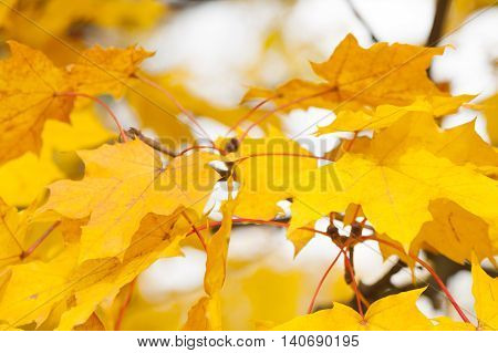 Acer leaves in autumn yellow dispersed light