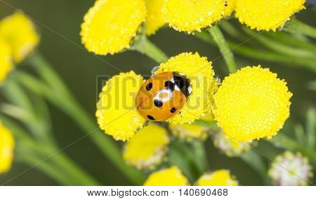 Ladybug on an Yellow Flower close up.