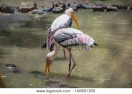 Painted Stork birds (Mycteria leucocephala) look for fish in a swamp at a bird sanctuary in India