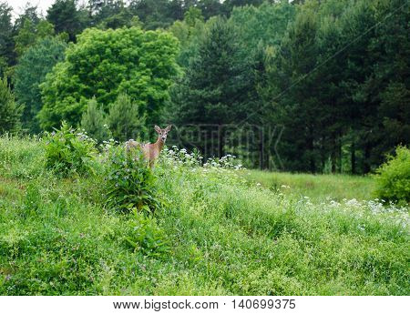 A roe deer in the Swedish forest.