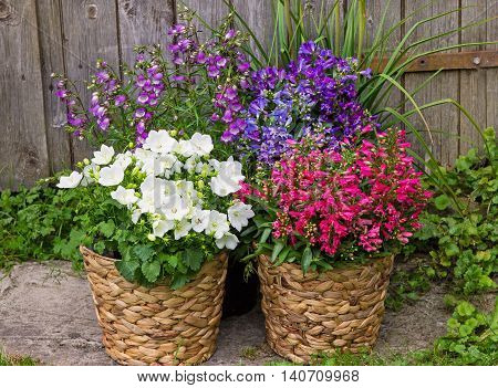 Bellflowers And Campanula As A Colorful Garden Decoration.