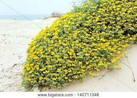 Flowering Plant Lotus Creticus On Beach.