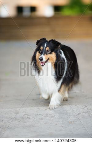 adorable tricolor sheltie dog outdoors in summer