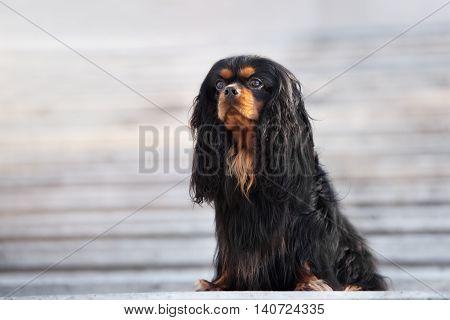 cavalier king charles spaniel dog  posing outdoors