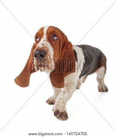 Cute Basset Hound isolated on white background
