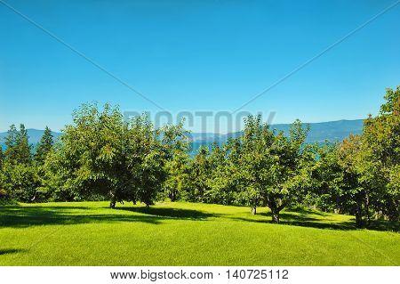 Cherry orchard overlooking Flathead Lake in Montana