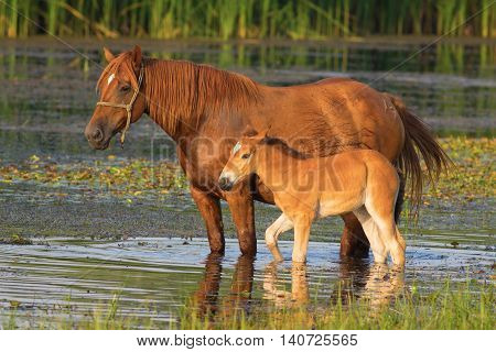 Sorrel horse and foal drink on the pond
