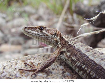 Amur Lizard (Tachydromus Amurensis)