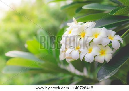 White Plumeria or frangipani in the garden.(selective focus, vintage effect)