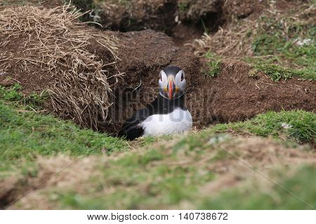 This is a picture of a Puffin (Fratercula arctica) at the entrance of it's nesting burrow. The picture was taken in the ninth of May, on The Isle of Lunga, which is off the West Coast of Scotland.