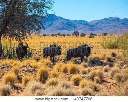 Small herd of wildebeest grazing in the savannah. The concept of exotic tourism in Namibia. Dirt road in the African steppe