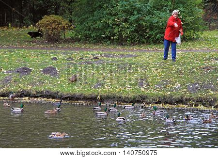 Warsaw, Poland - October 24, 2015: old woman is feeding ducks at the lake in park of Warsaw, Poland