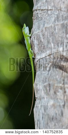 Colorful green Gecko closeup at a tree