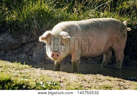 Young pig in a puddle of with mud
