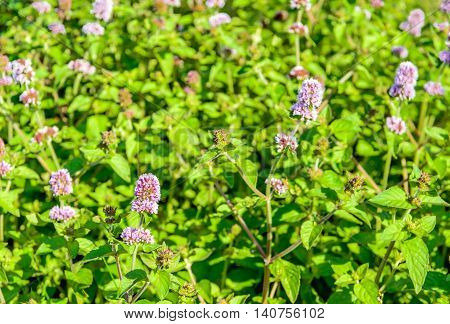 Closeup of lilac and purple blooming and fresh smelling Water Mint or Mentha aquatica plants in their own wet natural habitat.