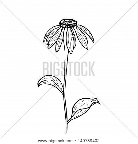 Vector illustration of hand drawn echinacea. Vintage echinacea flower sketch. Botanical drawing