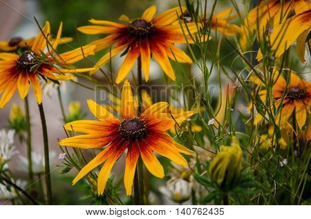 Beautiful sunny flowers in a summer garden