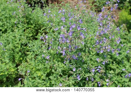 Lavender colored Catmint (a variety of catnip) wildflower nepeta racemosa variety Walker's Low grows in a field at the edge of a wooded area.
