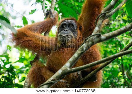 Animals in wild. Orangutan female in tropical rainforest relaxing on tree. Sumatra Indonesia