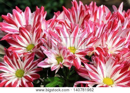 The ornate red- white Saba chrysanthemum at close