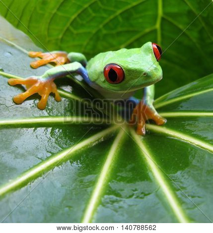 Aglychnis callidryas red eyed tree frog sitting on wet leaf with vibrant red eyes, orange feet, and blue legs showing.