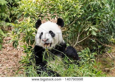 Panda bear eating bamboo and looking happy
