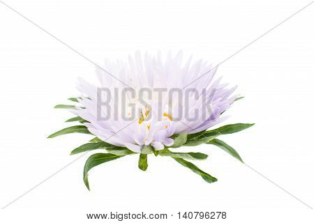 beautiful aster flower on a white background