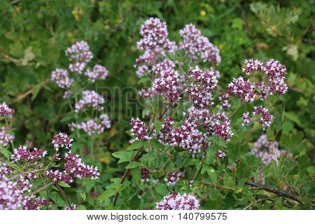 Common thyme flowers. Pink garden thyme Thymus vulgaris Medicinal plant in garden