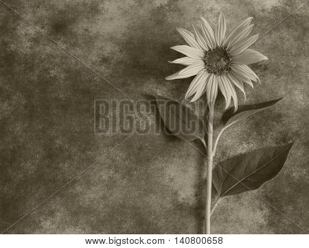Gray sunflower in blossom on dark background - condolence card