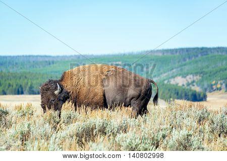 Single Buffalo In Yellowstone
