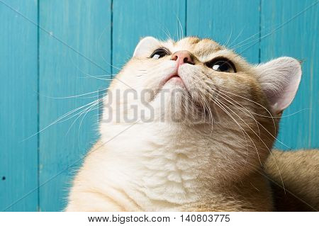 Funny rufous cat looking up on the background of blue boards