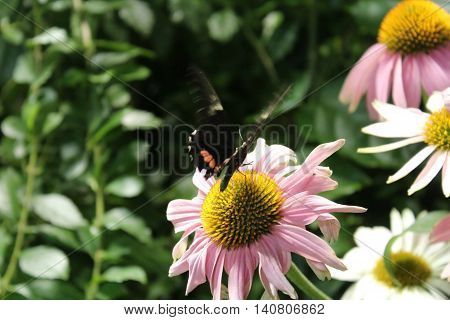Butterfly landing on a flower preparing to feed on the nectar