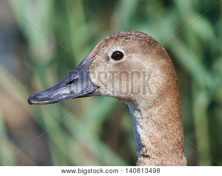 Closeup portrait of the Common pochard (Aythya ferina) with vegetation in the background