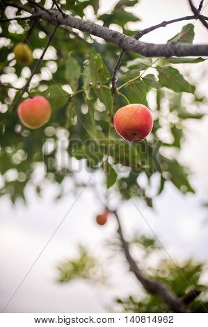 Red Apple Growing On Tree
