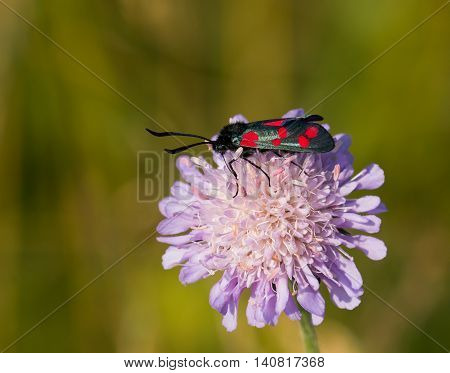 Six-spot Burnet Moth on Field Scabious wild flower during July on South Downs Sussex England