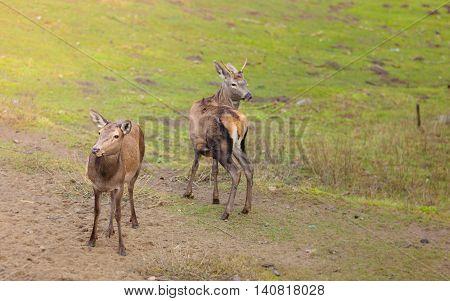 Herd Of Deer In The Wild