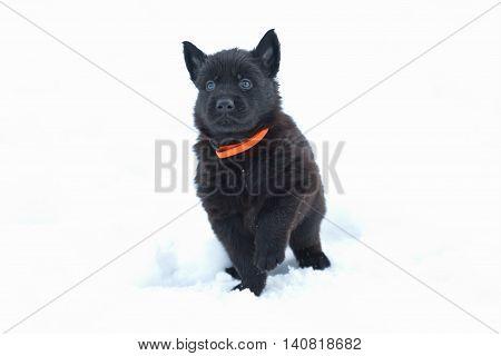 Belgian shepherd (malinois) puppy (unique black colour) sitting in the snow