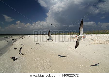 Black Skimmers in Flight on Marco Island on the Florida Gulf Coast