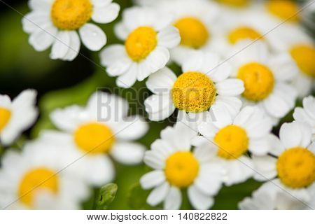 Feverfew (Tanacetum parthenium) flowers. Mass of white and yellows flowers of traditional medicinal herb in the daisy family (Asteraceae)