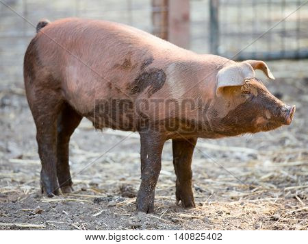 Red Wattle hog - Sus scrofa domesticus Red wattle hog standing in Deer Hollow Farm, California, USA