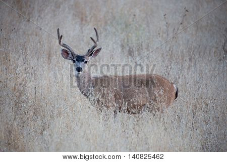 Black-tailed Deer (Odocoileus hemionus) in the weeds. Adult, Male Black-tailed Deer stands at alert in a dry grassy meadow.