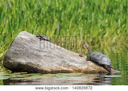 two turtles laying on rock together on a hot day