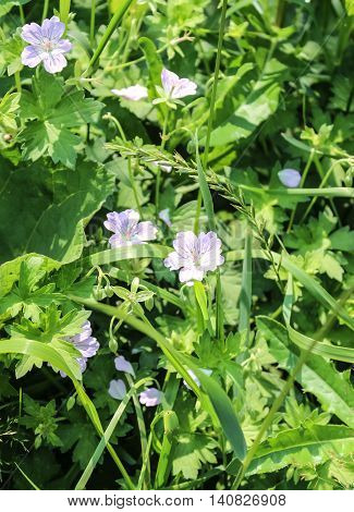 Flowers of a meadow geranium it is used in folk medicine
