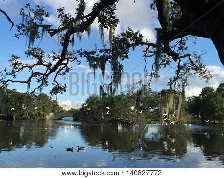 flock of white birds on tree with hanging moss in Louisiana